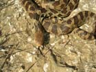 Eastern Foxsnake (Pine)  Photo