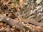 Eastern Hog-nosed Snake  Photo