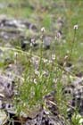 Narrow-leaved Vervain  Photo.
