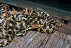 Eastern Foxsnake (Pine)  [Photo #1010]