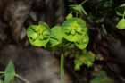 Wood Spurge Photo.