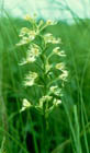 Eastern Prairie White Fringed Orchid  Photo.