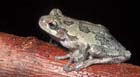 Gray Treefrog  [Photo #1053]
