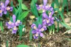 Dwarf Lake Iris  Photo.