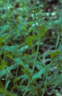 Short's Rock-cress  Photo.