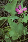 Clustered Poppy-mallow Photo.