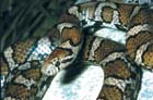 Milksnake  [Photo #1012]