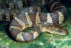 Common Watersnake  Photo