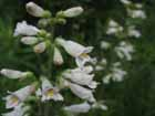 Pale Beardtongue Photo.