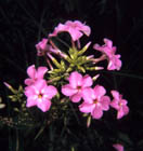 Smooth Phlox  Photo.