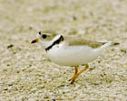 Piping Plover  [Photo #10827]