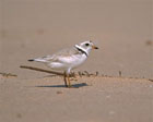 Piping Plover  [Photo #10828]