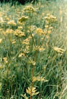 Prairie Parsley Photo.