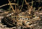 Northern Leopard Frog  [Photo #13260]