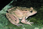 Northern Leopard Frog  [Photo #13611]