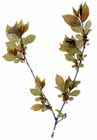 Lanced-leaved Buckthorn  Photo.