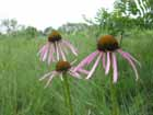 Pale Purple Coneflower  Photo.