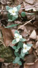 Snow Trillium  Photo.