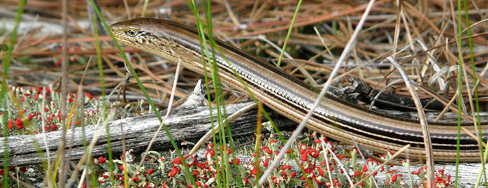 Slender glass lizard, photo courtesy of Nick Walton