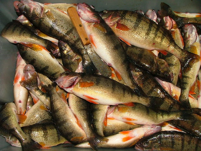Yellow perch research wdnr for Michigan fish size limits