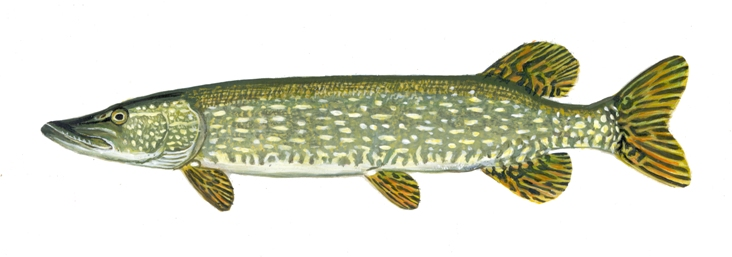 fishes of wisconsin northern pike wisconsin dnr