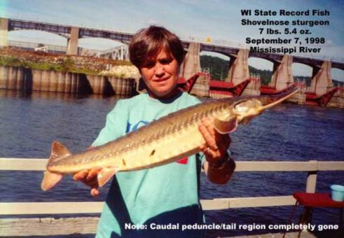 Shovelnose sturgeon fact sheet fishing wisconsin dnr for Wi fishing season