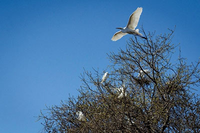 Great Egrets nesting at the Strawberry Island Colonial Waterbird Rookery