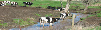 cows standing in a stream