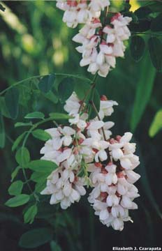 Black locust leaves and flowers