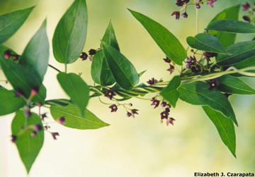 Black swallow-wort flowers and leaves