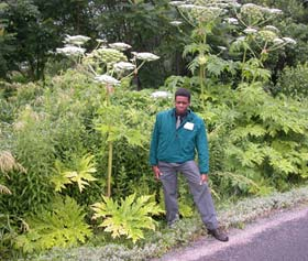 Giant hogweed plant and leaves