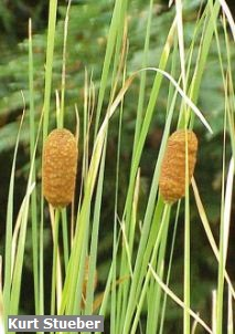 GracefulCattail