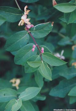 Tatarian honeysuckle flowers