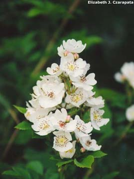 Multiflora rose flowers
