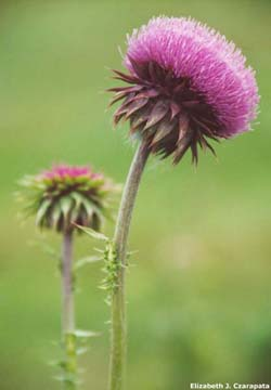 musk thistle flower head