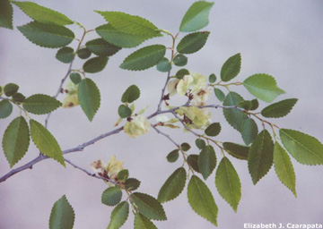 Siberian elm leaves and fruit