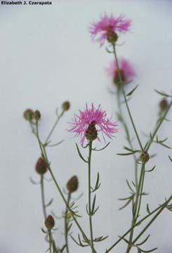 Spotted knapweed leaves and flowers
