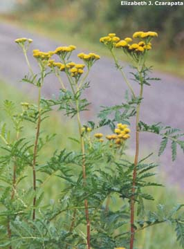Tansy flowers and leaves