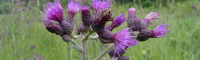 European marsh thistle