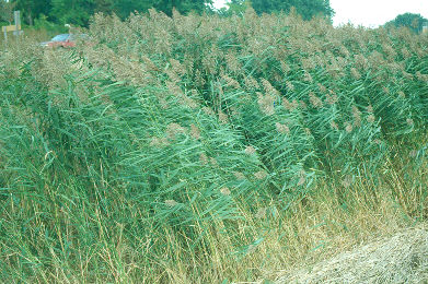 Phragmites - Photo credit: DNR