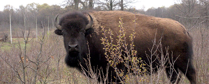 Bison at Horicon Marsh Wildlife Area