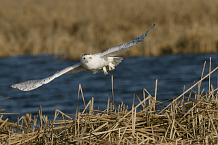 Snowy Owl in Flight Horicon Marsh