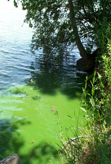 Bright green algae in surface waters results from excess phosphorus in runoff or from in-lake sediment from land use activities.
