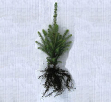 3-year old white spruce