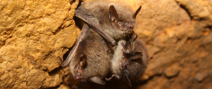 the origin of white nose syndrome in little brown bats essay White nose syndrome (wns) is having a devastating effect on bat populations in northeastern usa all six hibernating species of bats have been affected by wns however, the little brown myotis (myotis lucifugus) has been impacted most severely, with some populations declining by more than 90% since .
