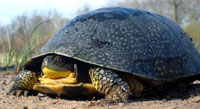 Photo of a Blanding's turtle