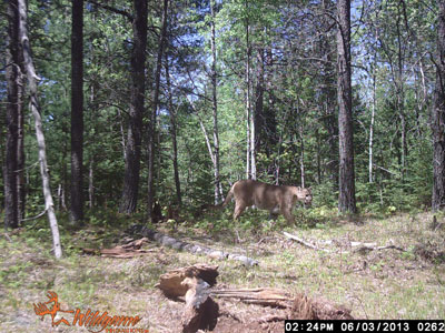Trail cam photo of a cougar in Florence County.