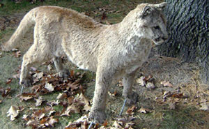 Stuffed cougar hoax
