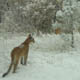 Cougar photo being circulated via email. This one is from the western U.S. - most likely Colorado