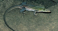 Photo of a prairie racerunner